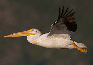 American White Pelican - Photo by Steve Ting
