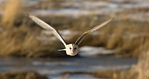 Barn Owl - Photo by Steve Ting