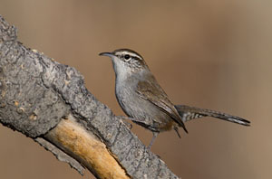 Bewick's Wren - Photo by Steve Ting