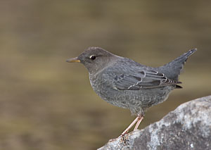American Dipper - Photo by Steve Ting