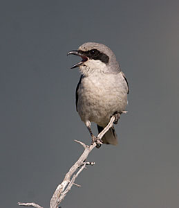 Loggerhead Shrike - Photo by Steve Ting