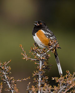 Spotted Towhee - Photo by Steve Ting