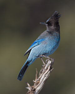 Stellar's Jay - Photo by Steve Ting