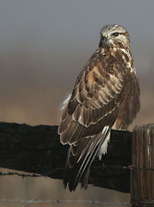 Rough-legged Hawk - Photo by Alan Gubanich