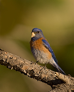 Western Blue Bird - Photo by Steve Ting